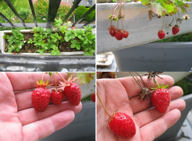 Balcony Container Garden Strawberries