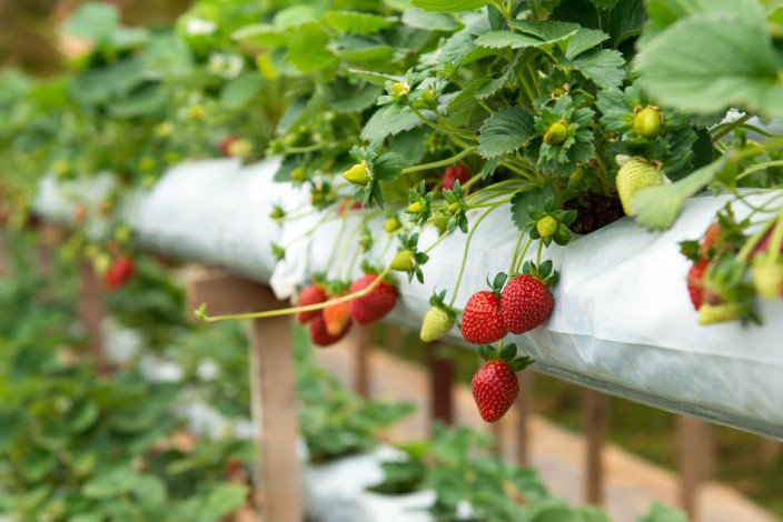 The-Tricks-To-Plant-The-Strawberries-Well-At-Your-House's-Balcony